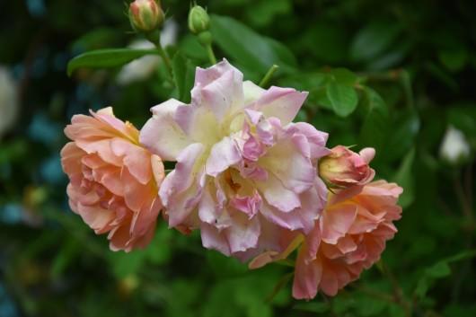 Phyllis Bide, Multiflora Rambler