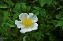 Rosa Avensis, Species 1762