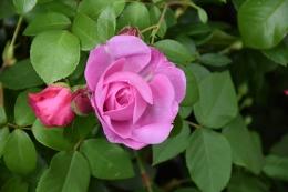 Ivor's Rose