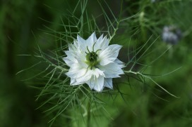 White Love in a Mist