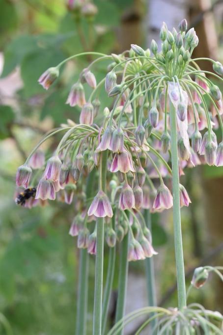 Nectoscordium sicilium
