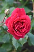 Paul's Scarlet