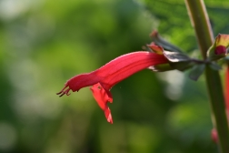 Salvia Red Trumpets
