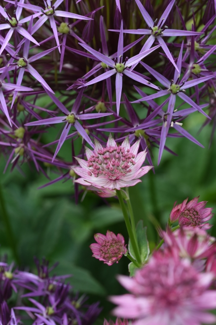 Allium and Astrantia