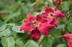Rosa odorata Bengal Crimson