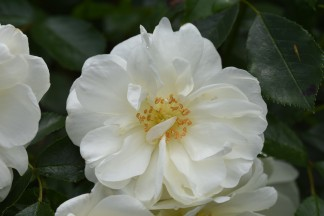 Flower Carpet White