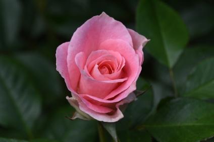 Jenny's Rose