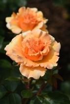 Welwyn Garden Glory