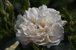 Rosa x alba Alba Semiplena