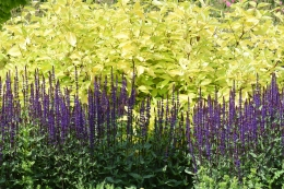 Golden dogwood and salvias