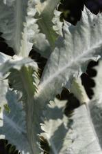 Onopordium acanthum