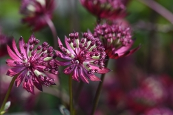 Astrantia Midnight Owl