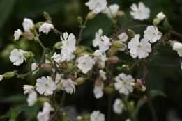 Silene latifolia subsp Alba
