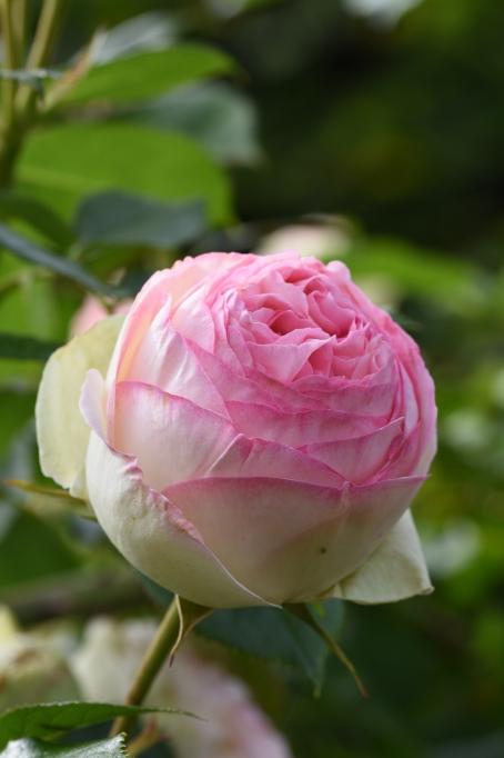 Eden Rose, Pierre de Ronsard