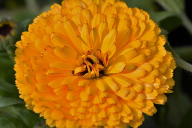 English Marigold - Calendula