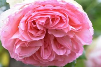 Pierre de Ronsard/Eden Rose