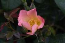 The Alexandra Rose