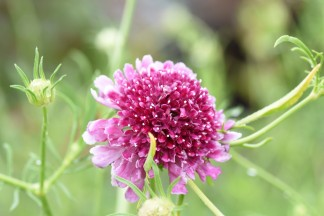 Scabious Beaujolais Bonnets