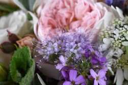 Phacelia and roses