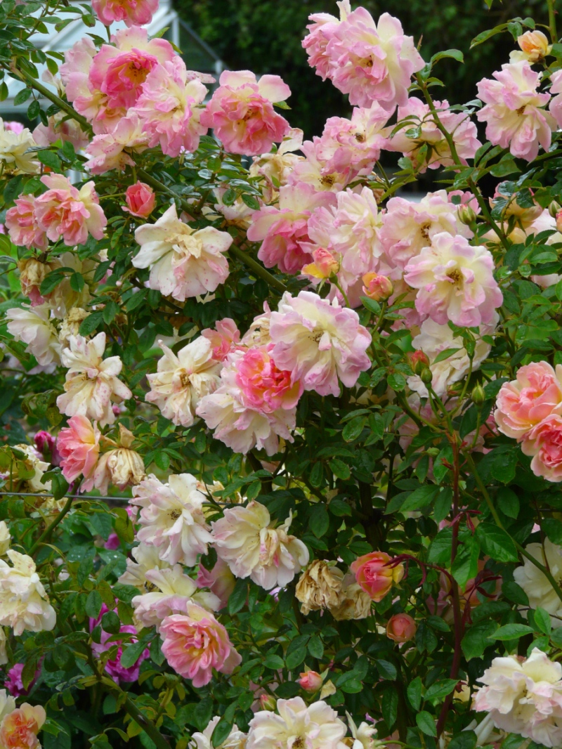 English Cottage Rose Garden