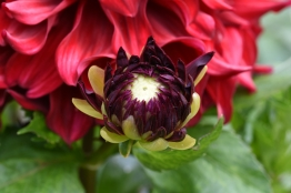 Babylon Dahlias