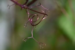 Cobaea scandens