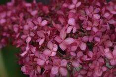 Pink Annabelle Hydrangea