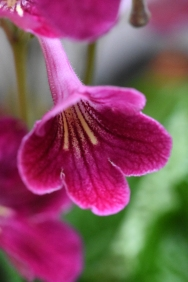 Streptocarpus Hope from Dibleys