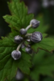 Anemone x hybridaA