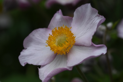 Japanese Anemones at Home