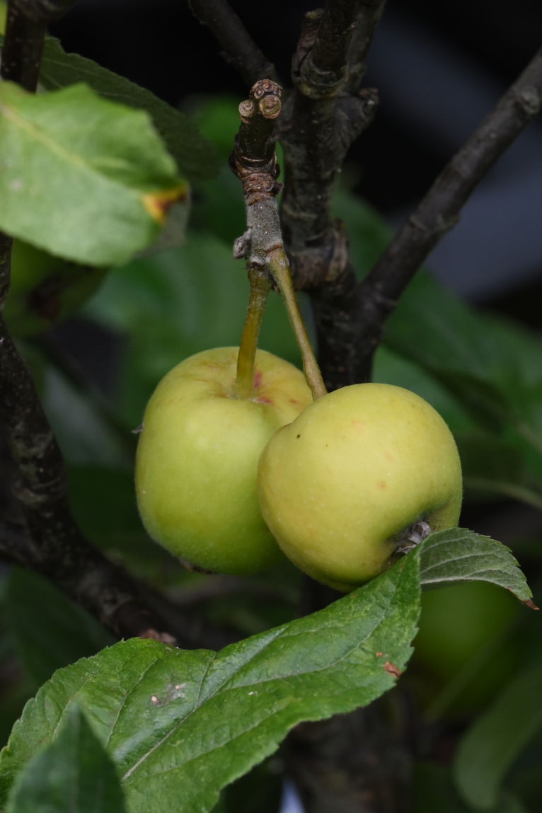 Home grown apple-ets