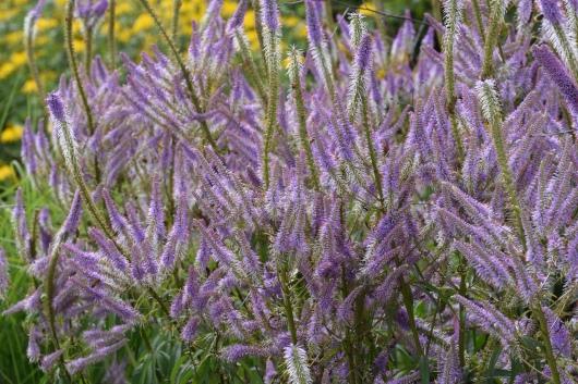 Veronicastrum Lavendelturm