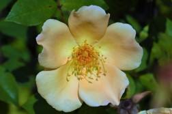 Rosa Mrs Oakley Fisher