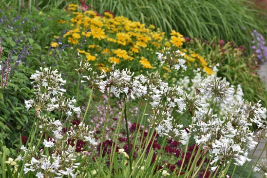 Agapanthus and Rudbeckias