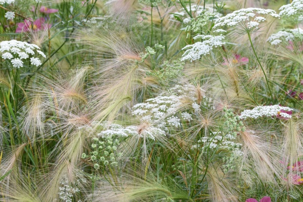 Ammi and Hordeum