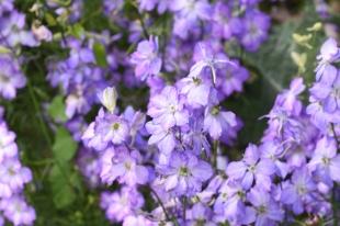 Consolida ajacis Fancy Purple Picotee