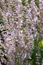 Salvia turkestana