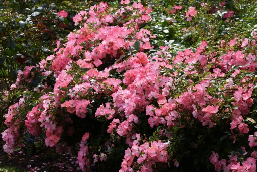 Flower Carpet Coral