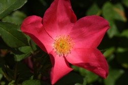 Rose of Picardy