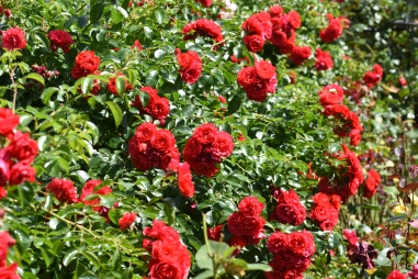 Flower Carpet Red (as Standards)
