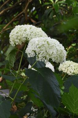 Hydrangea arborescens Bounty