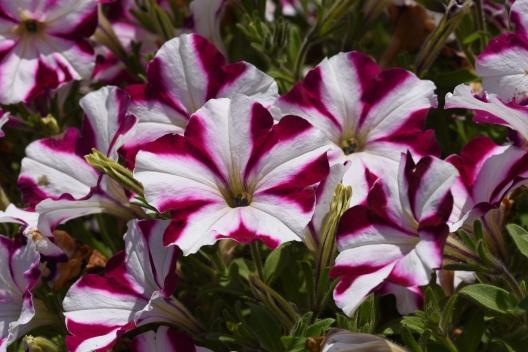 Petunia Amore' Joy (in Trials)