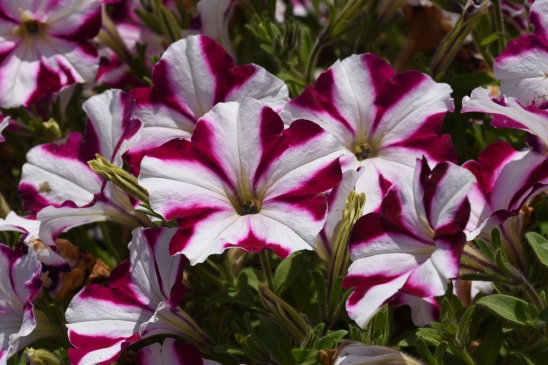 Petunia Amore' Joy (in Trials)