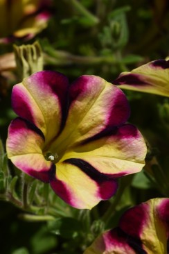 Petunia Amore' Fiesta (in Trials)
