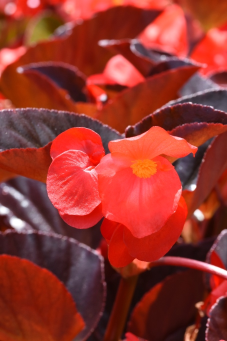 Begonia Whopper Series (in Trials)