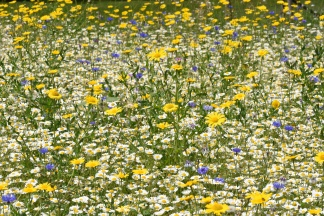 Wild Flower Meadows - in the Trial Fields