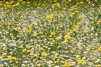 Wild Flower Meadows - in the Trial Fields