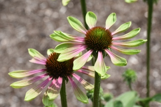 Echinacea Green Envy - on Trial