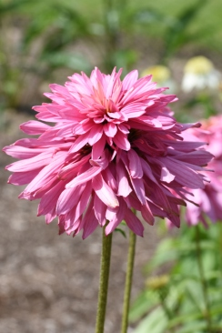 Echinacea Pink Poodle