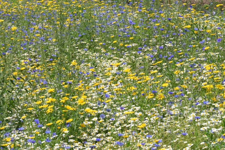 Another patch of Wildflower meadow